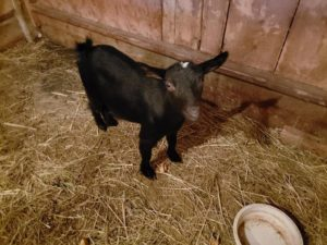 Black Pigmy goat with a white patch on her head