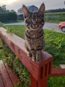Tabby Cat sitting on a railing outside