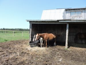 Two horses eating hay, named Dixie & Momma Rose